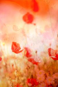 Durch Sonneneinstrahlung stark rot leuchtende Mohnblüten und weiße Gänseblümchen,