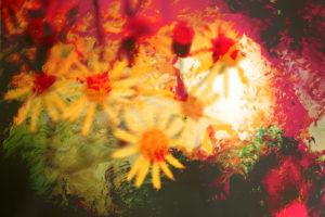 Verfremdung von gelben unscharfen Kamillenblüten im Gegenlicht,