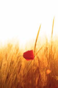 Kornähren und eine helle rote Mohnblume