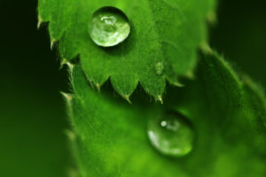 Green leaves in springtime with droplets of morning dew