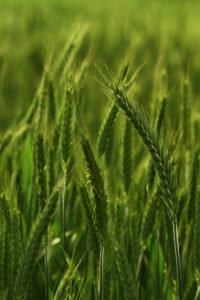 Field of triticale - a hybrid of rye and wheat