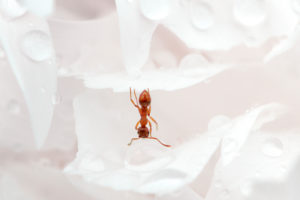 Close up of ant drinking on a water drop in the garden