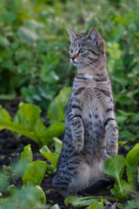 Curious young tabby cat standing inside garden