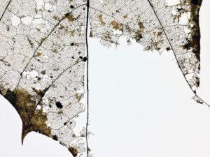 vertrocknetes Ahornblatt, ausgerissen, vor weißem Hintergrund, close-up, Detail