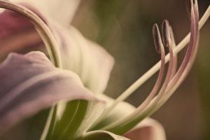 Stempel einer Blüte der Taglilie im Detail