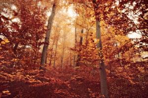 braunes Herbstlaub im Buchenwald mit Sonne