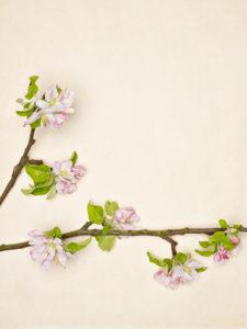 Apfelzweig und Blüten auf hellem Hintergrund