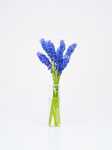 grape hyacinth as bouquet in glass vase in front of white background
