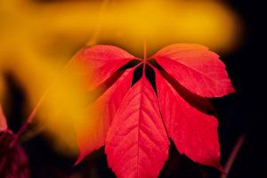 rotes Laub eines Weinblattes im Herbst in der Sonne