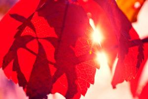 rotes Laub einiger Weinblätter im Herbst in der Sonne