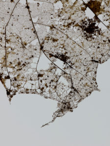 dried up maple leaf in autumn in front of white background, rip out, holes, close-up, detail