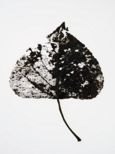 dried up leaves of a poplar in autumn in front of white background