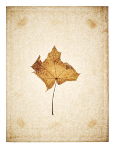 Maple leaf on yellowed paper, beige