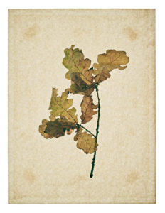 Oak leaf, many with stems on yellowed paper, beige