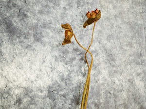 Two withered poppies with flower on a grey background