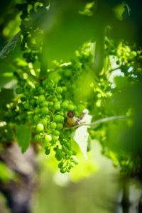 Unripe green grapes on the vine in the vineyard with the sun