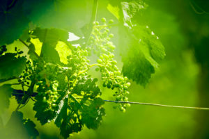 Unripe green grapes with wire on the vine in the vineyard with the sun