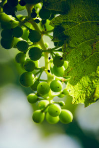 Unripe green grapes with vine leaves in detail, in the vineyard with the sun