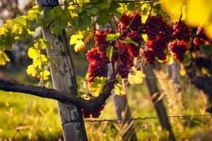 Red grapes in a vine in autumn, sunray