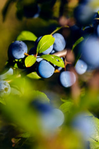 Branch with sloes berries in a shrub in the sun
