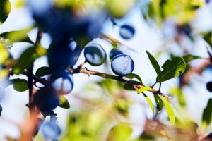Zweig mit Schlehen Beeren in der Sonne an einem Strauch
