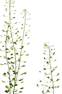Capsella bursa-pastoris (shepherd's purse) before white background, copy square
