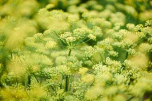 Dill als Nutzpflanze mit vielen Blüten und Dolden in gelb und grün