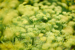 Dill as a crop plant with many flowers and umbels in yellow and green
