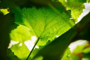 Detail eine Weinblattes im Herbst von unten, close-up