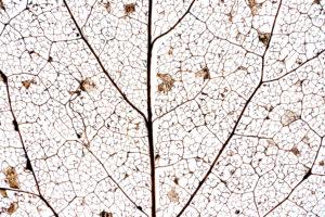 Detail eine zersetzten Blattes mit Blattadern vor Weiß, close-up