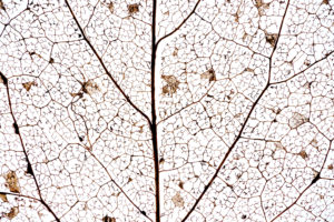 Detail of a decomposed leaf with leaf veins in front of white, close-up