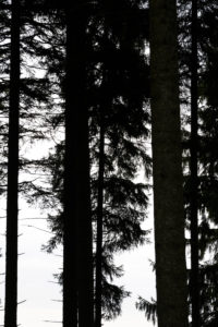 Fir forest, branches and twigs in backlight, silhouettes, white background,