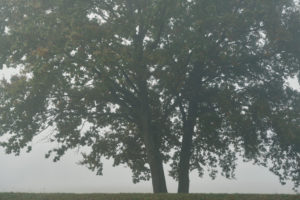 zwei Bäume im Nebel,