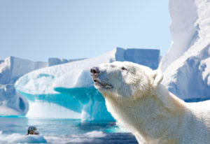 Polar bear in the Arctic, in the background a seal on an egg floe