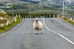 The ram stands in the middle of a road in Northern Ireland