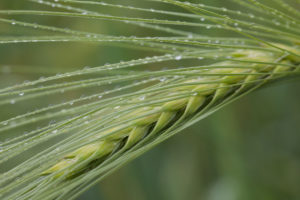 Barley ear with dewdrop, Hordeum vulgare, Germany, Schleswig Holstein, the Baltic Sea, Damp
