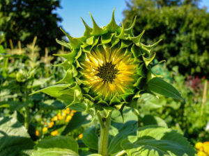 Rising sunflower (Helianthus annuus) in the garden