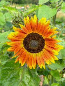 Sonnenblume (Helianthus annuus) im Garten, Porträt