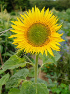 Sunflower (Helianthus annuus) in the garden, portrait