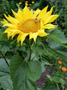 Sonnenblume (Helianthus annuus) mit Bienen, im Garten, Porträt