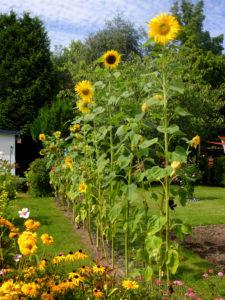 Sonnenblumen (Helianthus annuus) wachsen in der Reihe, als Sichtschutz
