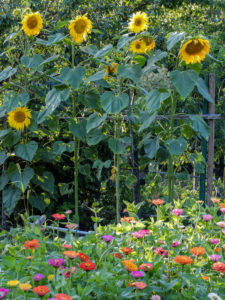 Sunflowers (Helianthus annuus) grow in the row as a screen