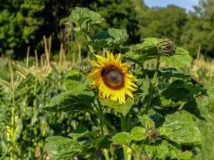Sonnenblume (Helianthus annuus) im Garten