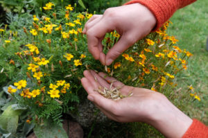 Collect seeds of spiced tagetes (Tagetes tenuifolia)
