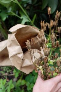 Samen von  Akelei (Aquilegia vulgaris) in einer Papierüte sammeln