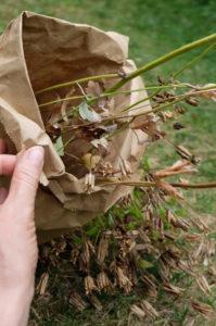 Samen von  Akelei (Aquilegia vulgaris) in einer Papierüte