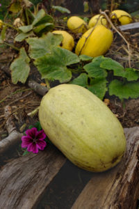 "Pumpkin ""Spaghetti"" (Cucurbita pepo) lies on boards as a base, as protection against putrefaction"