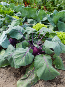 "Purple kohlrabi ""hummingbird"" (Brassica oleracea var. Gongylodes) in the vegetable patch"