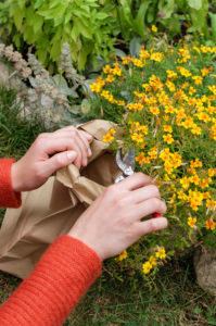 Collect seeds of spiced tagetes (Tagetes tenuifolia) in a paper bag