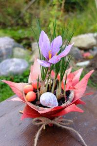Herbstzeitlose (Colchicum autumnale) im Topf als herbstliche Dekoration